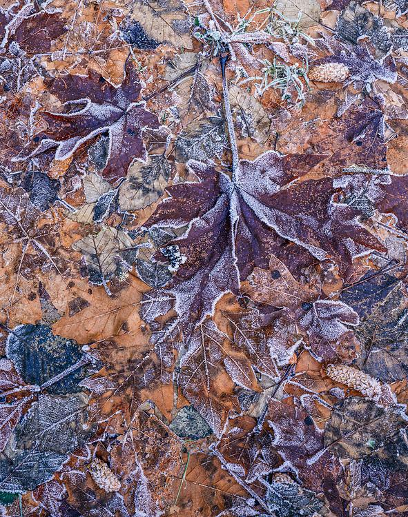 Bigleaf maple and alder design, winter, Sol Duc River Valley, Olympic National Park, Washington, USA