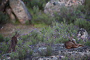 Iberian Lynx (Lynx pardinus) female & male one year old offspring with GPS tracking collar.<br /> Sierra de Andújar Natural Park, Mediterranean woodland of Sierra Morena, north east Jaén Province, Andalusia. SPAIN<br /> RANGE: Iberian Penninsula of Spain & Portugal.<br /> CITES 1, CRITICAL - DANGER OF EXTINCTION<br /> Fewer than 200 animals in the wild. There is a reduced genetic variability due to their small population. They have suffered due to hunting, habitat loss and road accidents, but the most critical threat today is the reduced numbers of wild Rabbits (Oryctolagus cuniculus) within the lynx's range. The rabbits are the principal food source of the lynx and they are suffering from deseases such as Myxomatosis & Rabbit haemoragic virus. The lynx is also suffering from deseases such as feline leukaemia<br /> A medium sized cat weighing 12-15kgs, Body length 90cm, Shoulder height 45-50cm. They have a mottled fur pattern, (3 varieties of fur pattern found between the different populations and distinguishing them geographically)  short tail, ear tufts and are bearded. They are territorial cats although female cubs have been found to share their mother's territory. Mating occurs in Dec/Jan and cubs born around April. They live up to 13 years.<br /> <br /> Mission: Iberian Lynx, May 2009<br /> © Pete Oxford / Wild Wonders of Europe<br /> Zaldumbide #506 y Toledo<br /> La Floresta, Quito. ECUADOR<br /> South America<br /> Tel: 593-2-2226958<br /> e-mail: pete@peteoxford.com<br /> www.peteoxford.com