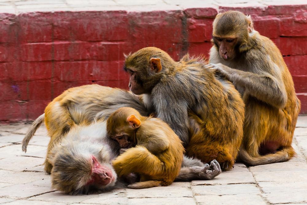 Macaque monkeys grooming,  The Swayambhunath Stupa. The temple sits atop a hill west of Kathmandu, Nepal.