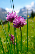 Mountain Onion - Allium - wild alpine meadow flower - 6000ft (2000 mts) .<br /> <br /> Visit our SWITZERLAND  & ALPS PHOTO COLLECTIONS for more  photos  to browse of  download or buy as prints https://funkystock.photoshelter.com/gallery-collection/Pictures-Images-of-Switzerland-Photos-of-Swiss-Alps-Landmark-Sites/C0000DPgRJMSrQ3U
