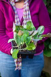 Holding a module tray of young spring cabbages ready to plant out