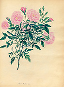 ROSA Indica, minor. Small Indian Rose From the book Roses, or, A monograph of the genus Rosa : containing coloured figures of all the known species and beautiful varieties, drawn, engraved, described, and coloured, from living plants. by Andrews, Henry Charles, Published in London : printed by R. Taylor and Co. ; 1805.