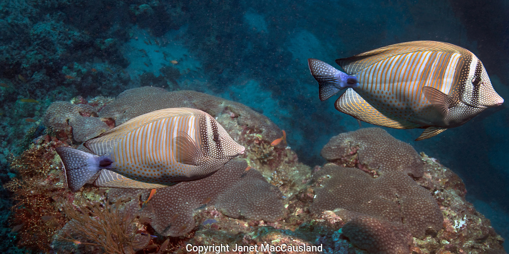 A pair of Indo-Pacific Doctor Fishes swim rapidly by.