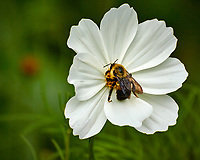 Bumblebee on a white Cosmos flower. Backyard summer nature in New Jersey. Image taken with a Nikon 1 V3 camera and 70-300 mm VR telephoto zoom lens (ISO 400, 300 mm, f/5.6, 1/640 sec).