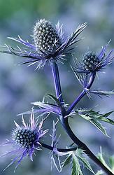 Eryngium alpinum 'Holden Blue'