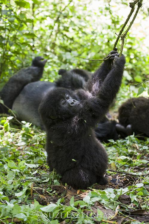 Mountain Gorilla<br /> Gorilla gorilla beringei<br /> Juvenile<br /> Parc National des Volcans, Rwanda<br /> *Endangered species