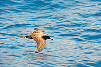 Cory's Shearwater (Calonectris diomedea)  Canary Islands.Spain