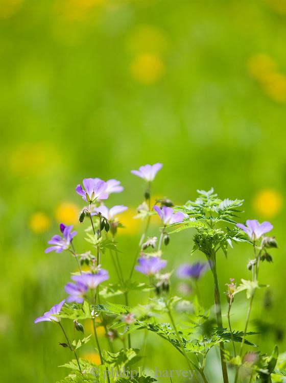Flowers in a field at La Cluse-et-Mijoux, Jura region, Frnace