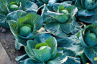 Cabbages in an allotment ready to be harvested or cropped