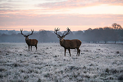 © Licensed to London News Pictures. 02/12/2019. London, UK. Deer graze as frost covers the landscape at sunrise in Richmond Park in west London on a bright and freezing Winter morning. Photo credit: Ben Cawthra/LNP