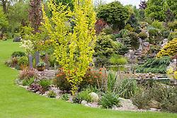 The rock garden, waterfall and pond in John Massey's garden. In the foreground is Ulmus minor 'Dampieri Aurea' syn. U. x hollandica 'Dampieri Aurea', syn. U. hollandica Wredei - Golden Dutch Elm