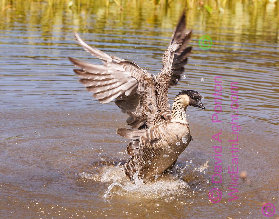Hawaiian goose (Branta sandvicensis)  flaps its wings after bathing