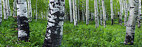 A panoramic view of fresh Spring greens and Aspen trees in the forests along the Alpine Loop in Utah's American Fork Canyon.