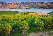 Vineyard in Chelan, Washington, with Lake Chelan below