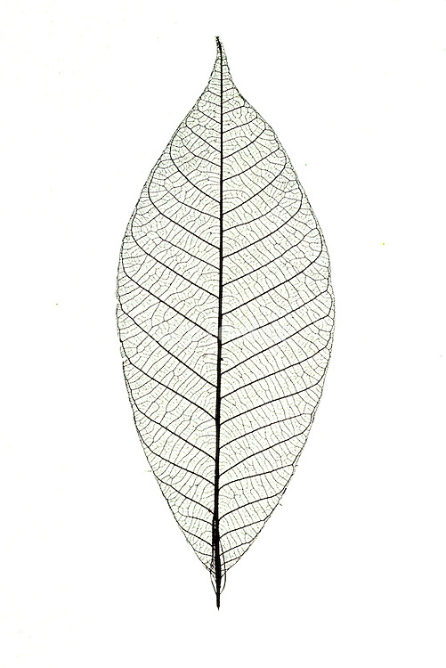 the vessels of a leaf