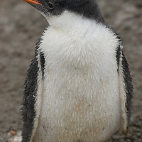 A Gentoo penguin chick (Pygoscelis papua) stands in the rain on a muddy beach on Aitcho Island, in the South Shetland Islands near the Antarctic Peninsula, Antarctica.
