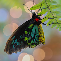 Butterfly photography from New England outdoor photographer Juergen Roth showing an birdwing  butterfly at Magic Wings butterfly garden in South Deerfield, Massachusetts.<br /> <br /> Butterfly macro photography images are available as museum quality photography prints, canvas prints, acrylic prints or metal prints. Prints may be framed and matted to the individual liking and decorating needs: <br /> <br /> https://juergen-roth.pixels.com/featured/birdwing-butterfly-bokeh-juergen-roth.html<br /> <br /> All digital macro butterfly photos are available for photography image licensing at www.RothGalleries.com. Please contact me direct with any questions or request.<br /> <br /> Good light and happy photo making!<br /> <br /> My best,<br /> <br /> Juergen<br /> Photo Prints & Licensing: http://www.rothgalleries.com<br /> Photo Blog: http://whereintheworldisjuergen.blogspot.com<br /> Instagram: https://www.instagram.com/rothgalleries<br /> Twitter: https://twitter.com/naturefineart<br /> Facebook: https://www.facebook.com