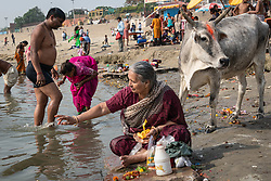 May 18, 2019 - Varanasi, India - On 18 May 2018, an Indian woman prepares floral arrangements for prayer next to cow on the banks of the Ganges River, which is considered to be holy and pure in the Hindu religion. Photo taken in the city of Varanasi, India. (Credit Image: © Diego Cupolo/NurPhoto via ZUMA Press)