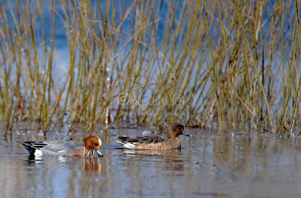 Pair of Wigeons (Anas penelope) at Lake Hornborga, Sweden.