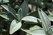 Fresh Sage (Salvia) growing