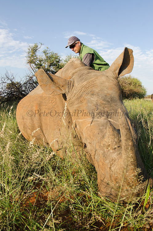 White Rhinoceros (Ceratotherium simum) immobilized for relocation. With Conservation Solutions Kester Vickery<br /> Private Game Reserve<br /> SOUTH AFRICA<br /> RANGE: Southern & East Africa<br /> ENDANGERED SPECIES