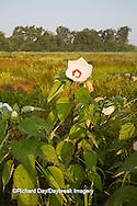 63899-05402 Rose Mallow (Hibiscus lasiocarpos)) in wetland, Marion Co., IL