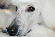 Pedigree Dog - white standard poodle rests head on front legs