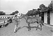 20/091967<br /> 09/20/1967<br /> 20 September 1967<br /> Goffs September Sales at Ballsbridge, Dublin. Picture shows a yearling filly owned by Mr C.J. Haughey T.D., Minister for Finance, sold to Lord Harrington, Patrickswell, Limerick for 2,300 Guineas (joint top price).