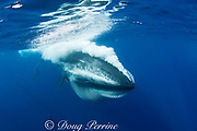 Bryde's whale, Balaenoptera brydei or Balaenoptera edeni, expels air and water from mouth through baleen plates after engulfing part of a baitball of sardines, Sardinops sagax, off Baja California, Mexico ( Eastern Pacific Ocean ), #6 in sequence of 6 images