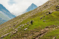 Man herding sheep on a mountainside in Gumri, Ladakh, Jammu and Kashmir State, India.
