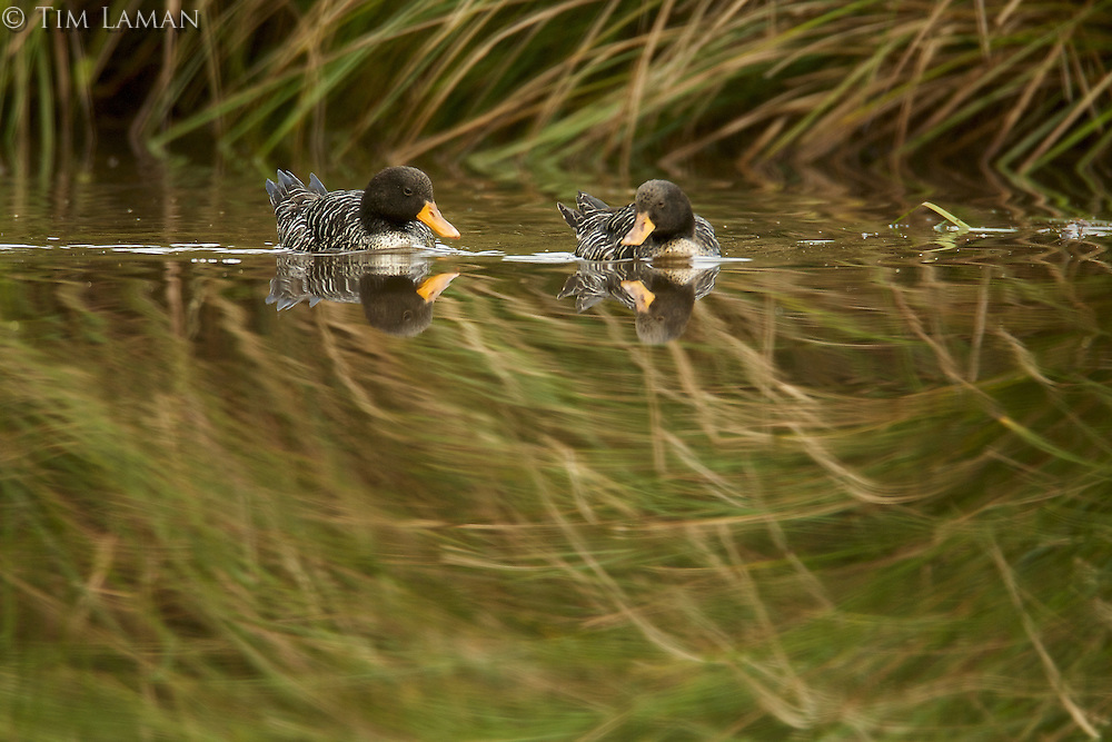 Salvadori's Teal (Anas waigiuensis) in the bog pond at 1650 m in the Foja Mountains.<br />
