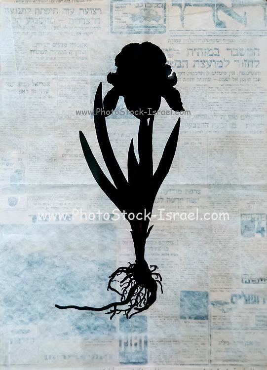 Silhouette of an Iris on newspaper