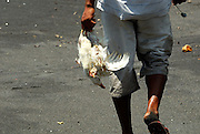 Man carrying dead chicken and live duck on black sand beach. Bali has several confirmed bird-flu cases in humans. Bali, Indonesia.