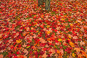 Sugar maple (Acer saccharum) leaves and tree trunk<br />Rimouski<br />Quebec<br />Canada