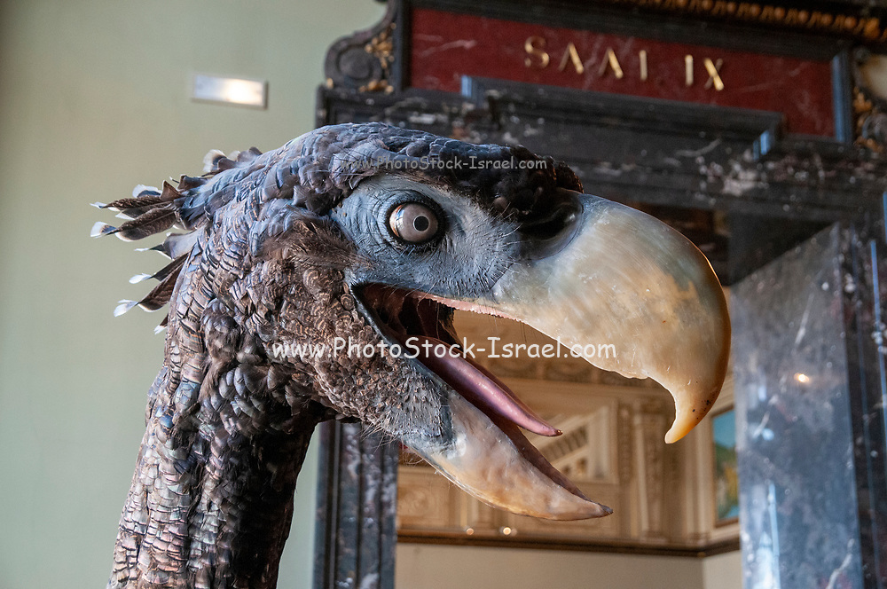 Model of a terror bird. Phorusrhacids, colloquially known as terror birds, are an extinct clade of large carnivorous flightless birds that were the largest species of apex predators in South America during the Cenozoic era; their conventionally accepted temporal range covers from 62 to 1.8 million years (Ma) ago. Photographed at the Natural History Museum, Vienna, Austria