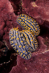 A trio of nudibranchs, Phyllidia vericosa, snuggle in a rock surface covered with coralline algae. Richelieu Rock, Thailand, Andaman Sea