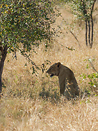Lioness taks some shade in  Kruger NP, South Africa