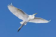 Great Egret - Ardea alba