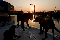 05 Sept  2005. New Orleans, Louisiana. Post hurricane Katrina.<br /> Animal rescue boat. Dogs greet each other as the sun drops in the horizon over a devastaed New Orleans.<br /> Photo; ©Charlie Varley/varleypix.com