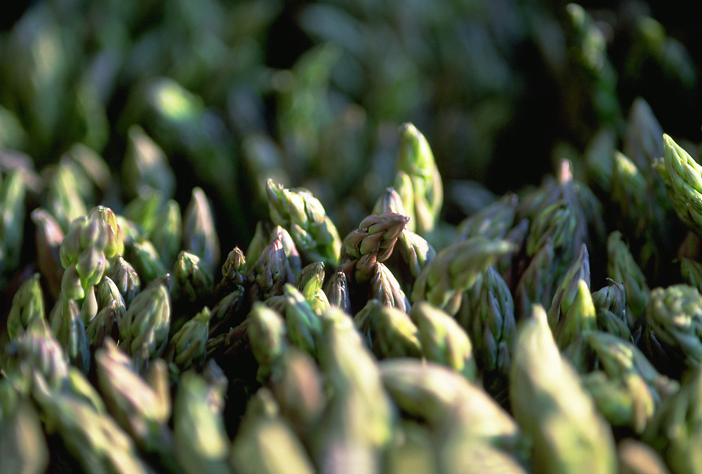 Extreme close up selective focus photo of the tips of Asparagus Spears