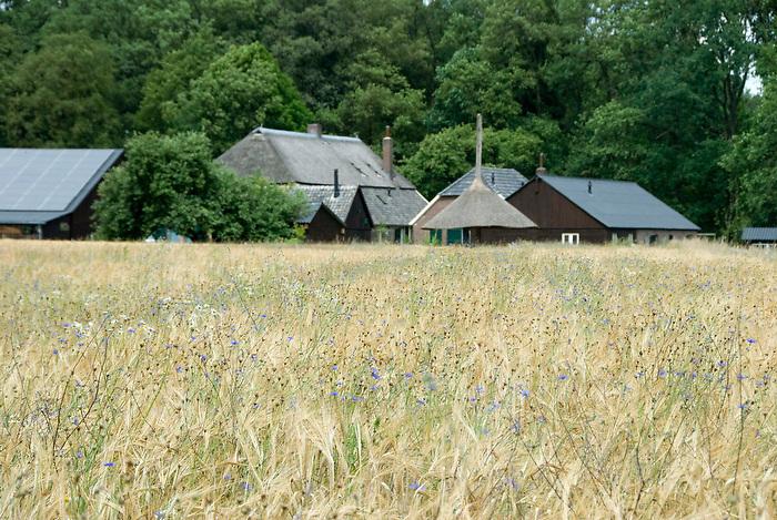 Gelderland, 16 juli ,2010.Landgoed Hackfort, in oud agrarisch landschap.Korenveld met korenbloemen en boerderij..(c)Renee Teunis.