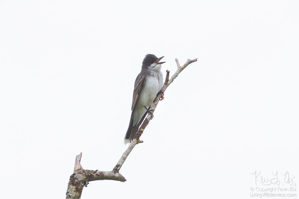 A female tree swallow (Tachycineta bicolor) calls out from its perch at the top of a snag on Ebey Island near Everett, Washington.