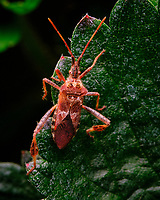 Western Conifer Bug on a strawberry leaf. Image taken with a Fuji X-T3 camera and 80 mm f/2.8 macro lens (ISO 3200, 80 mm, f/16, 1/125 sec)