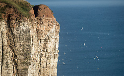 The RSPB nature reserve at Bempton Cliffs in Yorkshire, as over 250,000 seabirds flock to the chalk cliffs to find a mate and raise their young.