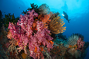A diver approaches colourful soft corals (Dendronephthya sp.) and crinoids on the stunning reefs of southern Raja Ampat, West Papua, Indonesia