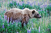 Yukon Territory, Haines Highway 64 miles south of Haines Junction. Grizzly Bear. Lupine Flowers. July.