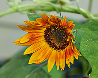 Sunflower. Image taken with a Fuji X-H1 camera and 80 mm f/2.8 OIS macro lens