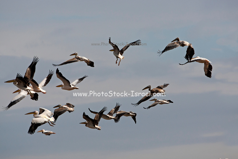 A flock of Great White Pelican (Pelecanus onocrotalus) in flight. This bird, also known as the eastern white pelican, lives in large colonies in Africa and Eurasia. It feeds almost exclusively on fish which it catches by plunging its large bill into the water. It may reach a length of up to 180 centimetres, with a wingspan of almost four metres. Photographed in Israel
