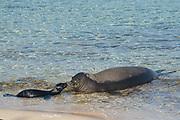 Hawaiian monk seal, Neomonachus schauinslandi ( Critically Endangered endemic species ), mother and three day old pup, Kalaupapa, Molokai, Hawaii, USA