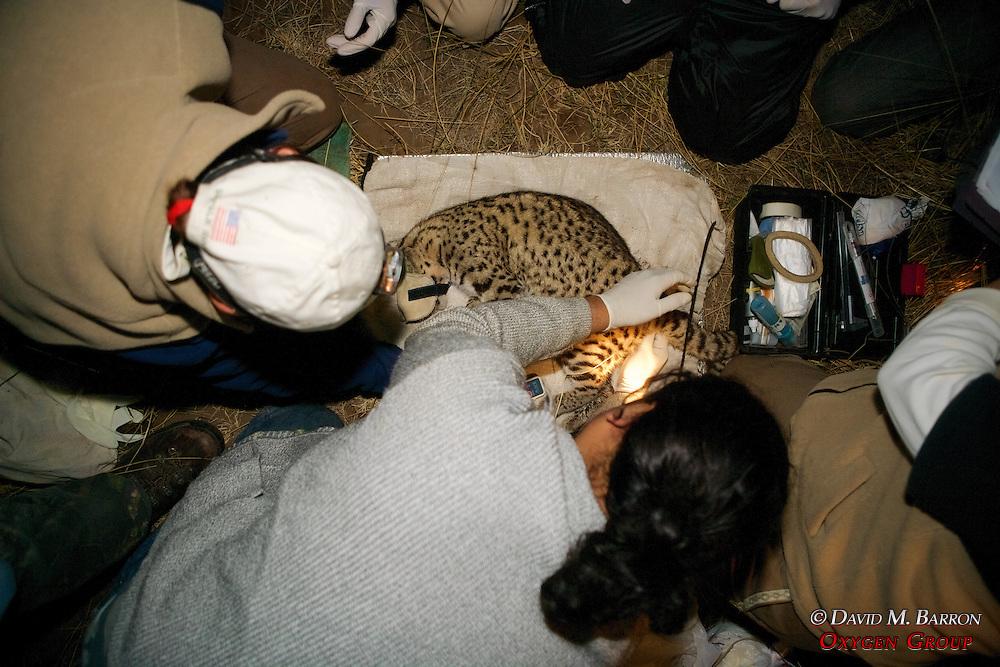 Working On Geoffroy's Cat